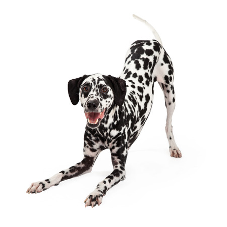 A playful Dalmatian Dog bowing with open mouth while looking forward.