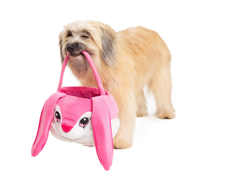 pyrenean: Pyrenean Shepherd Dog holding Easter basket in its mouth while standing. Stock Photo