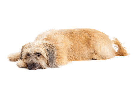 pyrenean: Relaxed Pyrenean Shepherd Dog laying with head on front paw.