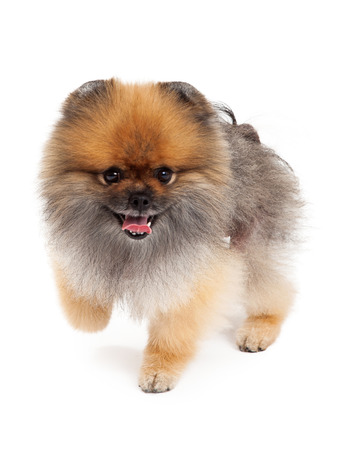 mouth  open: An active Pomeranian Dog walking froward with mouth open.