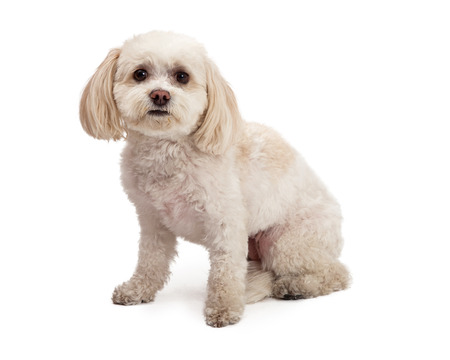 lapdog: An adorable Maltese And Poodle Mix Breed Dog sitting at an angle while looking forward.