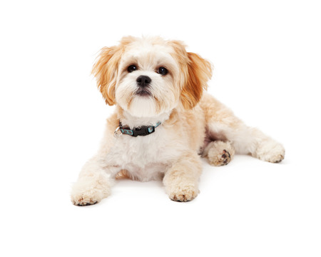 maltese dog: Adorable Maltese Mix Breed Dog laying at an angle while looking off to the side.