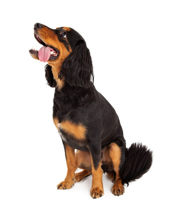 Alert Gordon Setter Mix Breed Dog sitting sideways.  Dog is looking to the side with its tongue hanging out of it mouth. Stock Photo