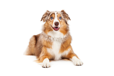 laying forward: Australian Shepherd Dog laying with outstretched paws while looking forward.