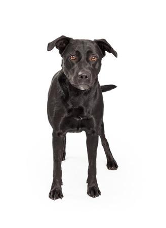 A beautiful Labrador Retriever Mixed Breed Dog stands facing forward looking into the camera. Stock Photo