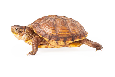 side keys: Profile of Box Turtle walking to the side Stock Photo