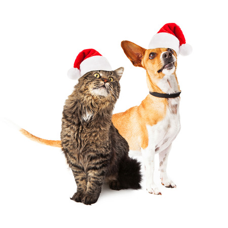 A cute medium size mixed breed dog and a beautiful long hair cat sitting together and looking up in the same direction off to the side while wearing santa hats