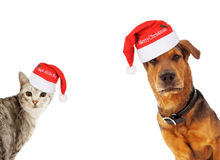 An adult large breed dog and a silver cat wearing santa hats coming into the sides of an image with room for text Stock Photo
