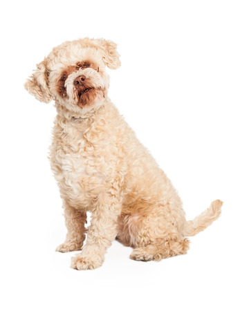 poodle mix: Well trained senior Poodle Mix Breed Dog sitting.