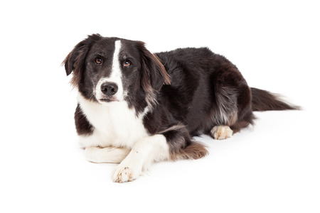 laying forward: A serious looking Border Collie Dog laying at an angle while looking forward. Stock Photo