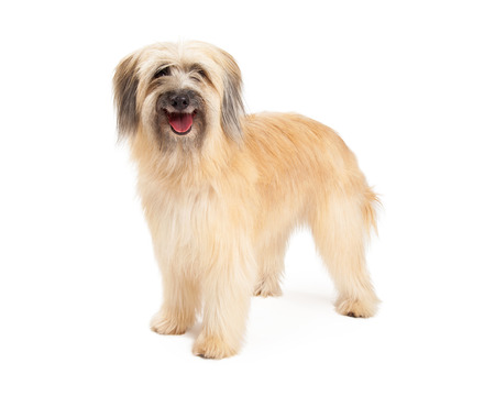 pyrenean: Smiling Pyrenean Shepherd Dog standing while looking forward with open mouth.