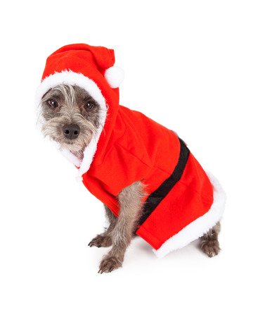 festive occasions: A cute little terrier mixed breed dog sitting to the side while dressed in a Santa Claus outfit Stock Photo