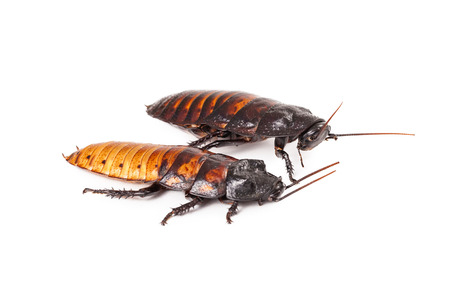 madagascar hissing cockroach: A male and a female Madagascar Hissing Cockroach