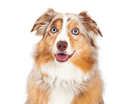 Closeup of Australian Shepherd Dog looking forward with open mouth.