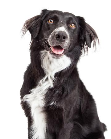 Primer de la mezcla del border collie de la raza del perro con la boca abierta y mirando hacia arriba. Foto de archivo - 34204617
