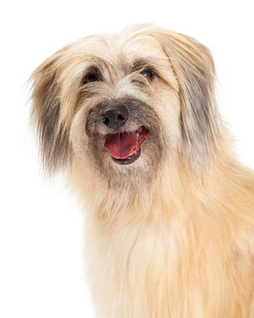pyrenean: Closeup of Pyrenean Shepherd Dog with open mouth.