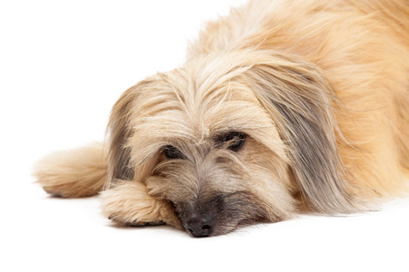 pyrenean: Closeup of sad looking Pyrenean Shepherd Dog