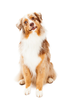 tilted: A curious Australian Shepherd Dog sitting with its head tilted and mouth slightly open.