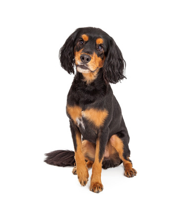 Adorable curious Gordon Setter Mix Breed Dog sitting. Stock Photo