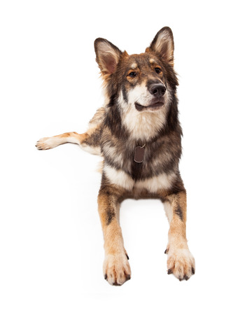large dog: A beautiful large Wolf and German Shepherd mixed breed dog laying and looking up with a curious expression