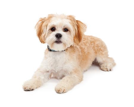 laying forward: Cute Maltese Mix Breed Dog laying while looking forward.