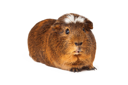 laying forward: A cute large Peruvian short hair guinea pig with brown fur laying and looking forward at the camera