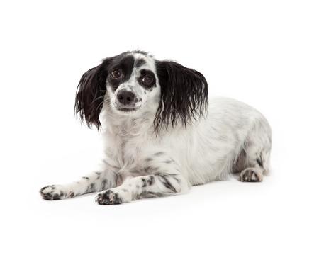 perro asustado: Una buscando Papillon Perro Raza mestiza asustado.