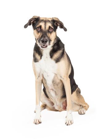 카메라에 직접보고있는 동안 앉아 사랑 스럽다 셰퍼드 혼합 유형 강아지.
