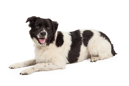 laying forward: A well trained Border Collie Mix Breed Dog laying while looking forward. Mouth is open and tongue is out.