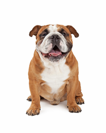medium shot: A happy English Bulldog sitting while looking forward.
