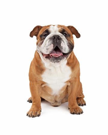 A happy English Bulldog sitting while looking forward.
