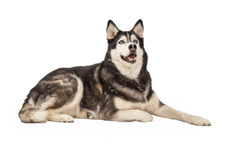 side keys: A friendly looking Siberian Husky Dog sitting laying with side to the camera and looking upwards. Stock Photo