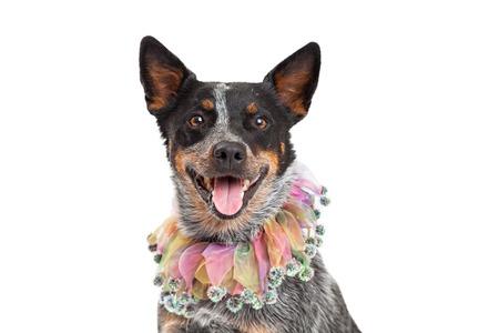 short hair dog: Head shot of an Australian Cattle Dog wearing a beautiful multicolored jesters collar.