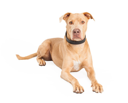 laying forward: A well trained Staffordshire Bull Terrier mix Breed Dog laying while looking forward. Stock Photo