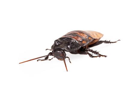 hissing: Madagascar Hissing scarafaggio