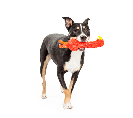 bull terrier: A Staffordshire Bull Terrier Mix Breed Dog retrieving a toy while playing a game of fetch.