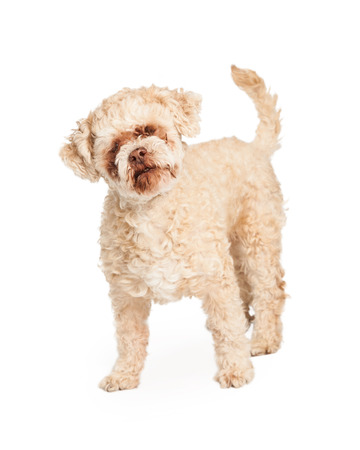 poodle mix: Happy and friendly geriatric Poodle Mix Breed Dog standing.