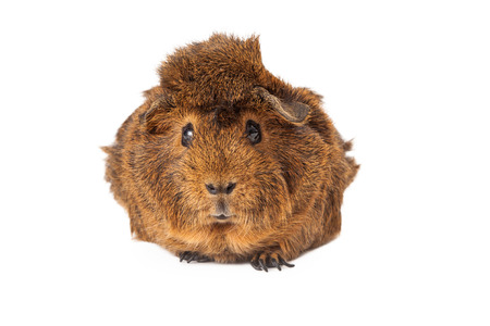 laying forward: A large Peruvian short hair guinea pig with brown fur laying and looking forward