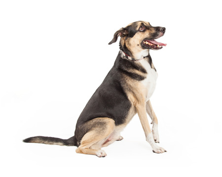 dogs sitting: An obedient German Shepherd Mixed Breed Dog sitting with side to the camera.  Dog is also looking to the side. Mouth is open. Stock Photo
