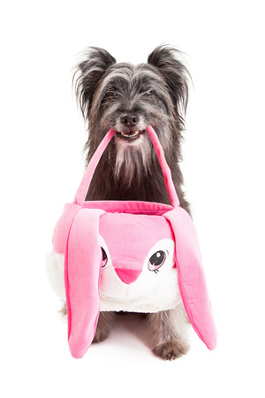 pyrenean: A Pyrenean Shepherd Dog holding an Easter basket in its mouth.