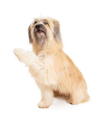 pyrenean: Pyrenean Shepherd Dog offering paw while looking up. Stock Photo