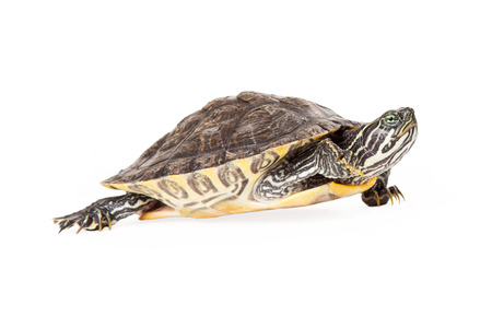 cooter: Cute River Cooter Turtle walking to the side Stock Photo