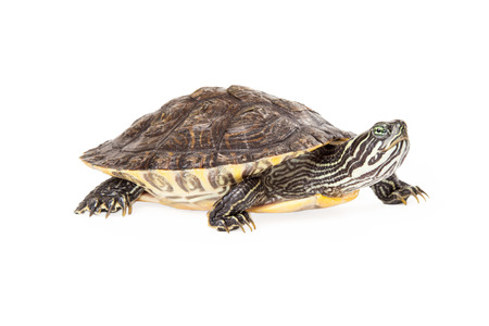cooter: Side view of a cure River Cooter turtle isolated on white Stock Photo