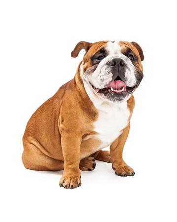 english bulldog: A smiling English Bulldog sitting and looking towards the camera.