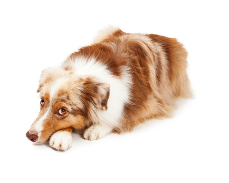 somber: A somber Australian Shepherd Dog laying with its head down on front paws. The dog is looking upwards towards the camera. Stock Photo