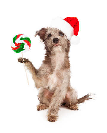 A little terrier mixed breed puppy dog wearing a red santa hat while carrying a Christmas lollipop photo