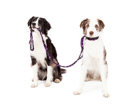 Two Border Collie Dogs taking each other for a walk. One dog is holding lead in its mouth while the other dog has lead attached to the collar and waits.