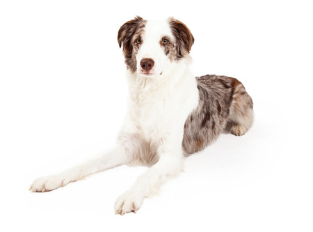laying forward: A well trained Border Collie Dog laying while looking forward.
