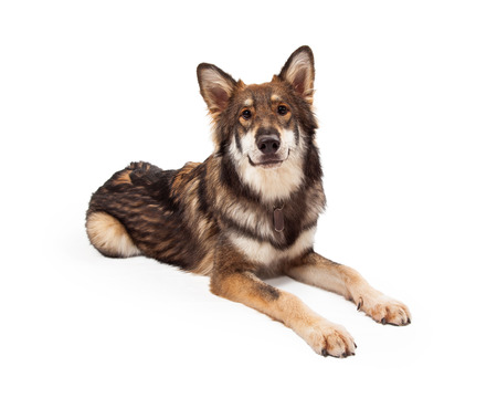 large dog: A beautiful large Wolf and German Shepherd mixed breed dog