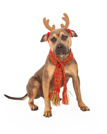 huge antlers: A festive Staffordshire Bull Terrier Mix Breed Dog  wearing antlers and scarf for the holiday season.